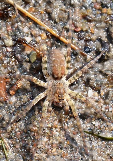 Wolf Spider - Arctosa littoralis