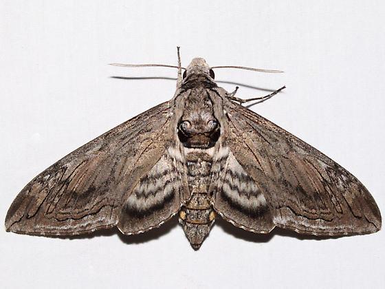 Manduca quinquemaculatus
