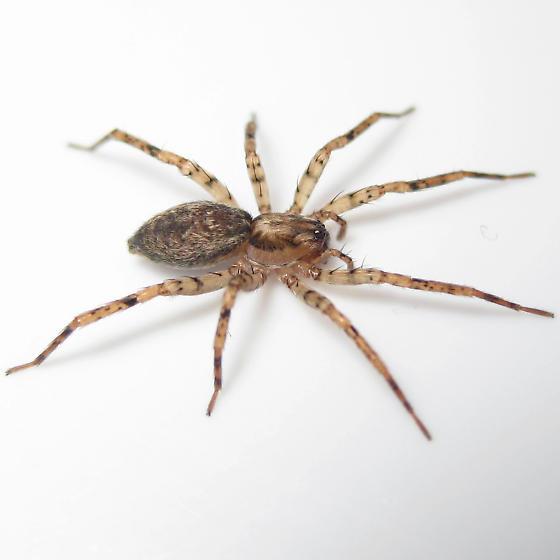 Anyphaena celer - female