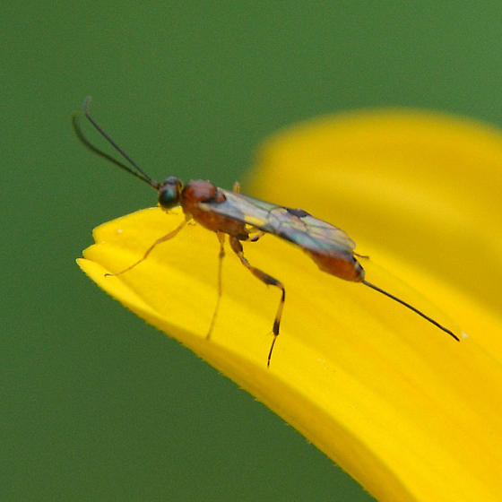 Small wasp ovipositing on Heliopsis helianthoides - female