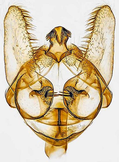 genitalia - Bactra furfurana - male