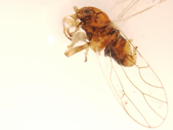 Psylla sp. from Arctic Tundra -- No. 2 - Cacopsylla sinuata - male