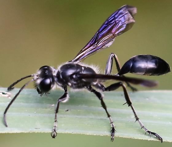 North Carolina Sand Wasp - Isodontia mexicana - male
