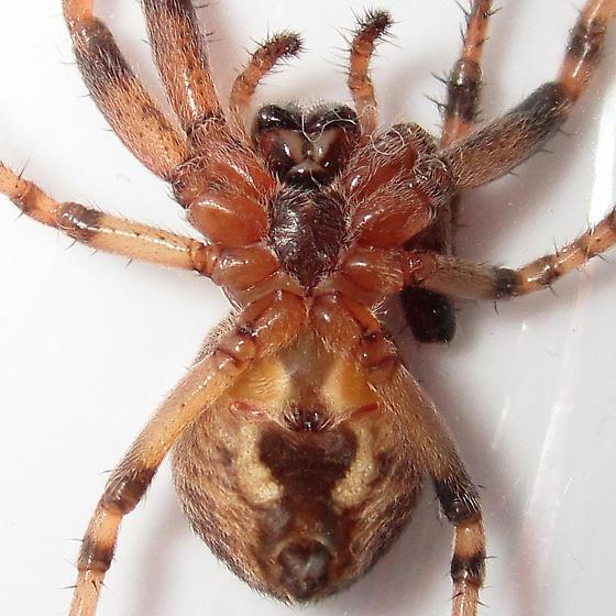 big orb weaver - Larinioides patagiatus - female