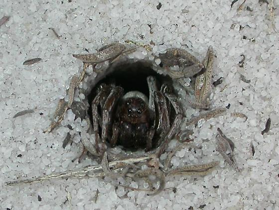 Geolycosa xera - female