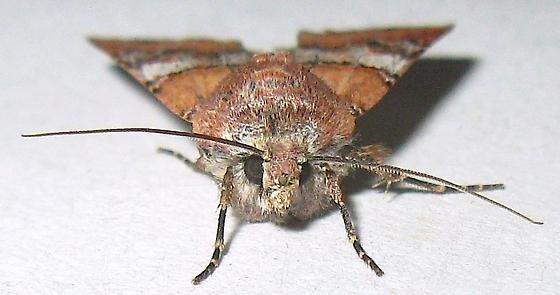 Murdock's dart Moth - Euxoa murdocki