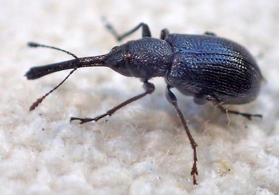 Attelabidae? - Temnocerus