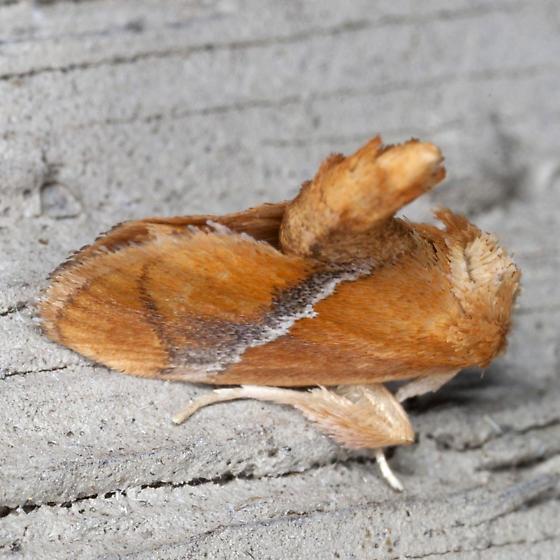 Yellow-shouldered Slug Moth - Hodges #4665 - Lithacodes fasciola