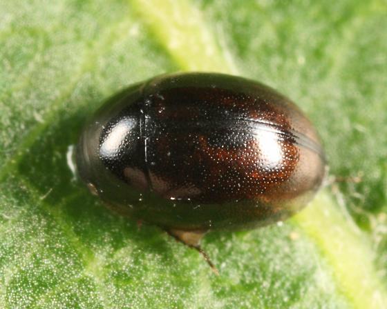 Water Scavenger Beetle - Anacaena