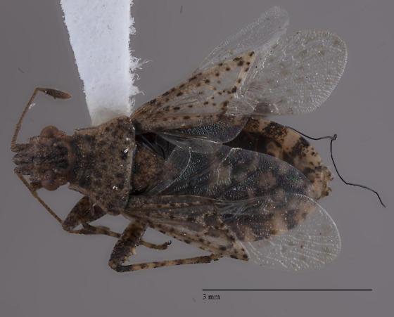 Alydidae  - Aufeius impressicollis