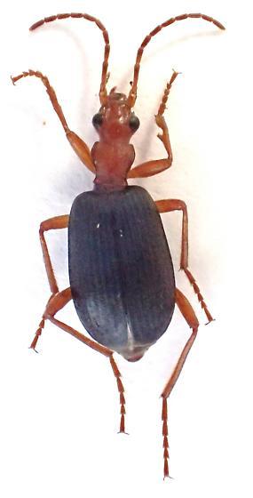 ref photo for peter Messer - Brachinus elongatulus