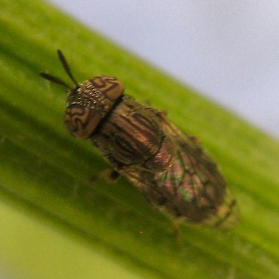 Orthonevra nitida - female
