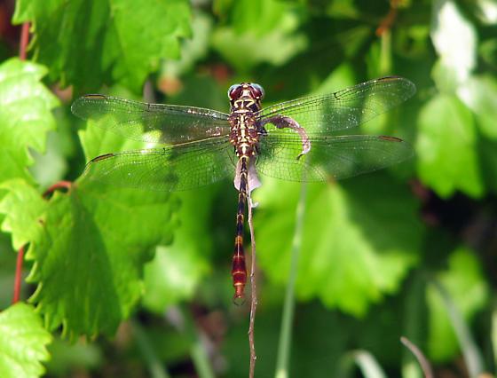 Gomphid? - Aphylla williamsoni - male