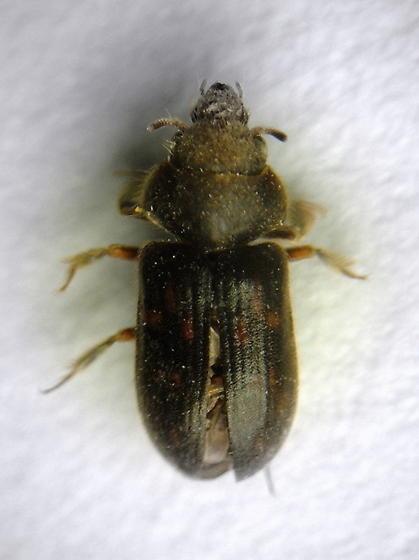 Neoheterocerus - Heterocerus - male