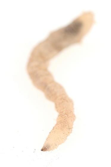 Sierra wormlion - Vermileo comstocki