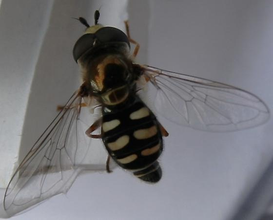Syrphidae - what species? - Eupeodes volucris - Eupeodes volucris - male