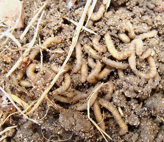 Fly Larvae?