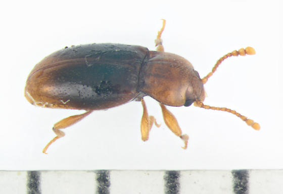 Endomychidae, Handsome Fungus Beetle, dorsal-lateral - Rhanidea unicolor