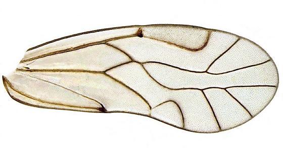 Lachesilla - Lachesilla pedicularia