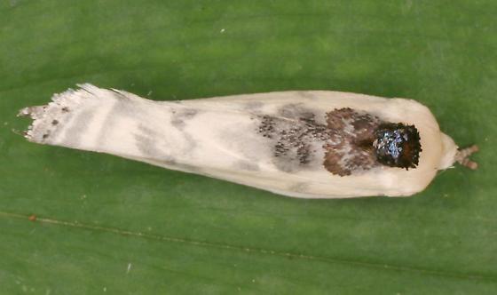 Bird-dropping Moth - Antaeotricha schlaegeri