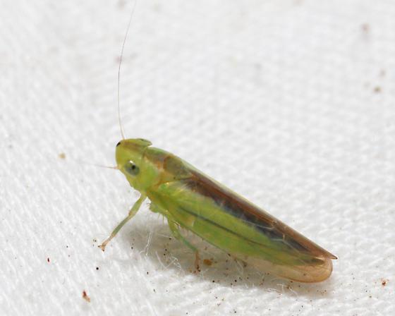 Leafhopper - Neocoelidia