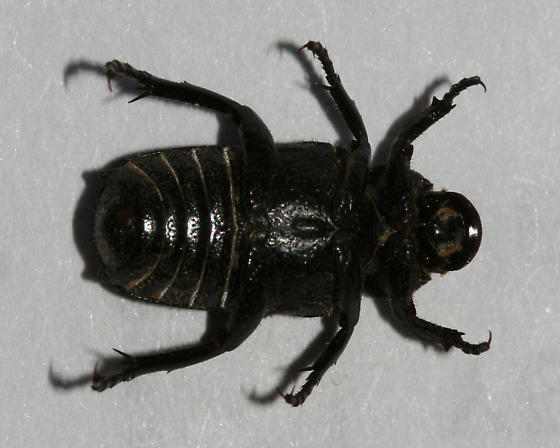 Beetle - Cremastocheilus mexicanus