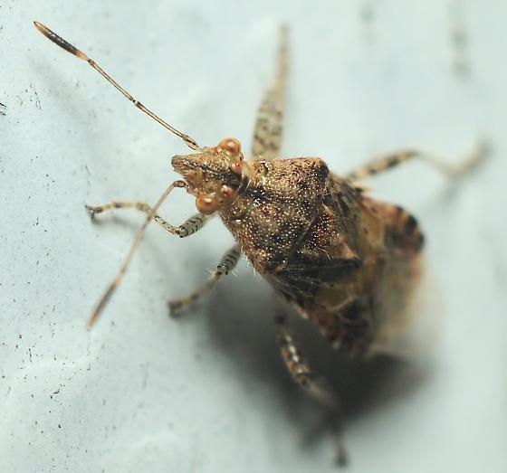 Leatherbug Of Some Kind - Niesthrea louisianica