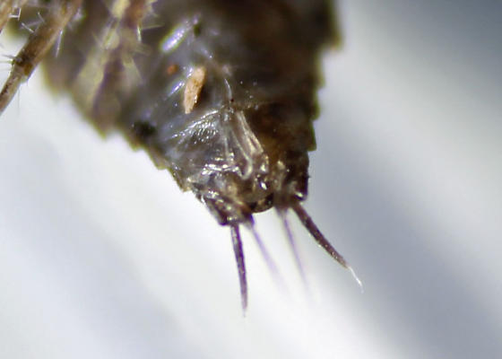 Larger Wet Area Isopods - Ligidium gracile
