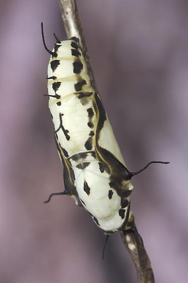 Black and White Ruddy Daggerwing Chrysalis - Marpesia petreus