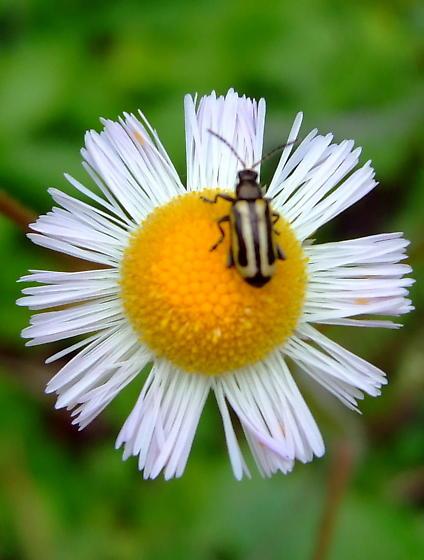 Alligatorweed Flea Beetle? - Agasicles hygrophila