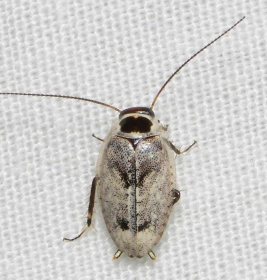 unknown bug - Plectoptera picta