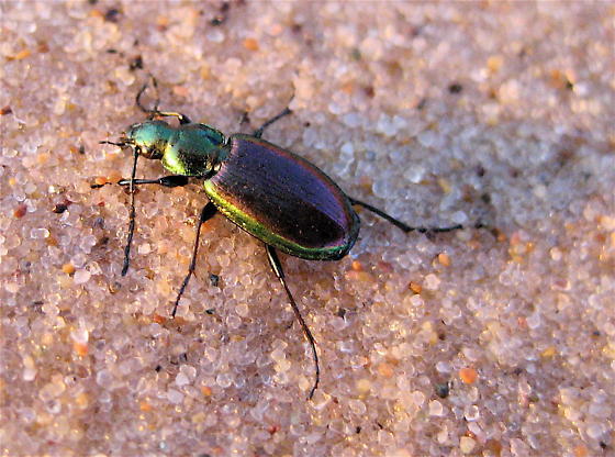 Metallic Green Beetle With Brown Back Agonum Cupripenne