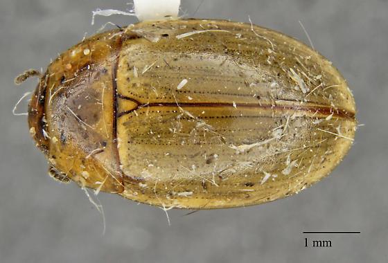 Hydrophilidae: Enochrus sp.?