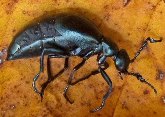 Oil Beetle 2 - Meloe campanicollis - male