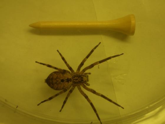 Garage Spider - Zoropsis spinimana