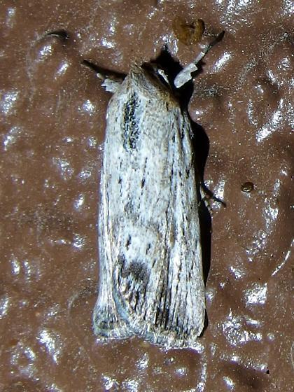 maybe Catabena or Catabenoides?