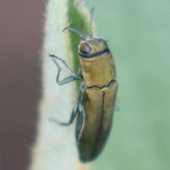 beetle, Agrilus lacustris? - Agrilus lacustris