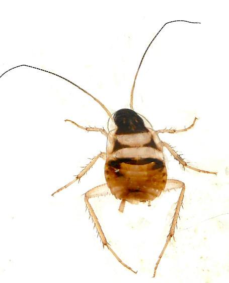 Early instar roach - Supella longipalpa