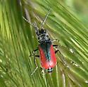 Malachite beetle - Malachius aeneus