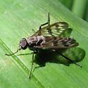 Common Snipe Fly - Rhagio mystaceus