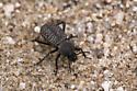 Unknown beetle - Cryptoglossa variolosa