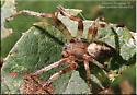 araneus ? - Araneus