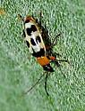 Squash Beetles - Paranapiacaba tricincta