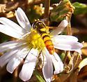 Syrphid fly - Sphaerophoria contigua - male
