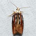 Eastern Black-headed Budworm Moth - Acleris variana
