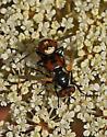 Flies mating 700A 6208 - Gymnosoma - male - female