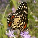 Red-spotted Patch - Chlosyne melitaeoides