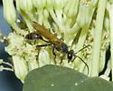 Vespid? No! - Sphecid - Isodontia elegans - male