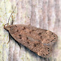 twirler moth - Anacampsis consonella