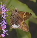 Spread-winged skipper - Achalarus lyciades